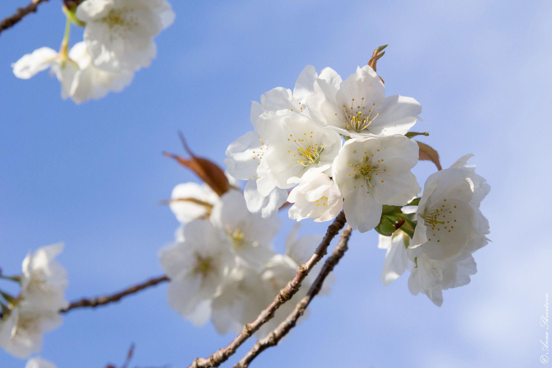 Прогулки поКиото: Где найти сакуру